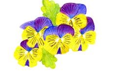 Pansy Flowers Royaltyfri Fotografi