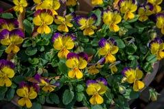 Pansy Flowers Fotos de archivo