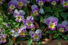 Pansy Flowers Foto de archivo