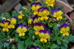 Pansy Flowers Imagen de archivo