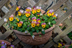 Pansy Flowers Fotos de archivo libres de regalías