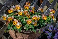 Pansy Flowers Foto de archivo libre de regalías