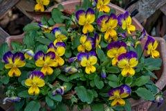 Pansy Flowers Fotografía de archivo