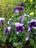 Pansy Flowers Arkivfoto