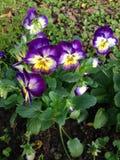 Pansy Flowers Imagenes de archivo