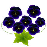 Pansy Flowers Photographie stock