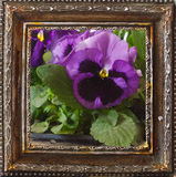 Pansy flowers. Stock Images