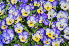 Pansy flowers background Royalty Free Stock Image