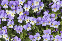 Pansy Flowers Background Royalty Free Stock Photo