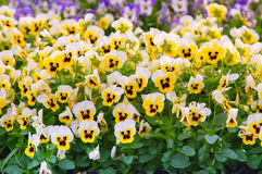 Pansy Flowers Background. Large Depth of Field Stock Images