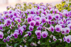 Pansy Flowers Background. Large Depth of Field Stock Image
