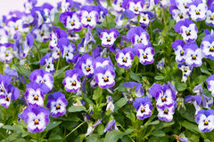 Pansy Flowers Background. Large Depth of Field Royalty Free Stock Image