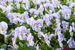 Pansy Flowers Background. Large Depth of Field Royalty Free Stock Images