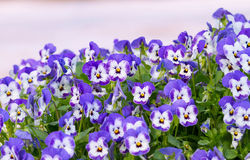 Pansy Flowers Background. Large Depth of Field Stock Photography