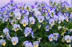 Pansy Flowers Background. Large Depth of Field Royalty Free Stock Photo