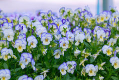 Pansy Flowers Background. Large Depth of Field Royalty Free Stock Photography