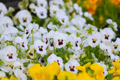Pansy Flowers Background. Large Depth of Field Stock Photo