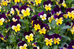 Pansy Flowers Background. Large Depth of Field Royalty Free Stock Photos