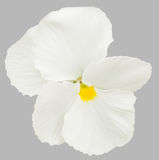 Pansy Flowers blanche Images stock