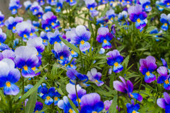 Pansy Flowers Blooming in de Tuin Royalty-vrije Stock Foto's