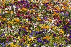 Pansy Flowers Stock Photos