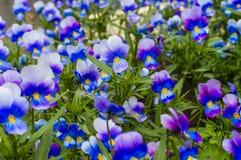 Pansy Flowers Blooming no jardim Fotos de Stock Royalty Free