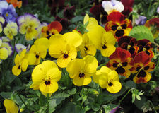 Pansy Royalty Free Stock Images