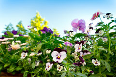 Pansy flowers blue sky background Royalty Free Stock Photos