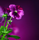 Pansy flowers border. Purple pansy flowers border, floral decorative design made of fresh spring plant, over dark violet background, beautiful natural flower Royalty Free Stock Photography