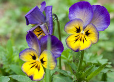 Pansy flowers close up Royalty Free Stock Photos