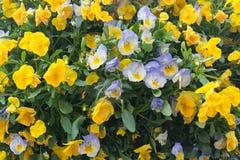 Pansy flowers closeup Stock Photo