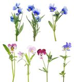 Pansy seven flowers set isolated on white Stock Image