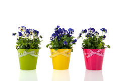 Pansy flowers in colorful buckets Stock Photo