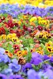 Pansy Flowers colorida en cama de flor Fotografía de archivo