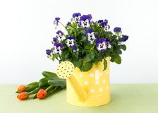 Pansy Flowers dans la boîte d'arrosage, les tulipes et le lapin de Pâques Photo stock