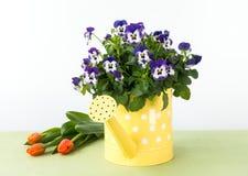 Pansy Flowers en regadera, tulipanes y el conejito de pascua Foto de archivo