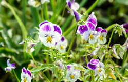 Pansy flowers on flower bed Royalty Free Stock Photo