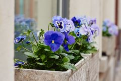 Pansy flowers in flower pot outside on a windowsill stock photo