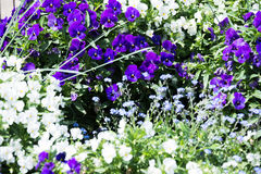 Pansy flowers in the garden Royalty Free Stock Photo