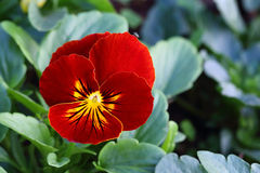 Pansy Royalty Free Stock Image