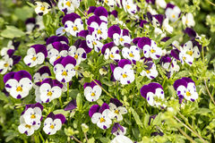 Pansy flowers in garden Royalty Free Stock Image