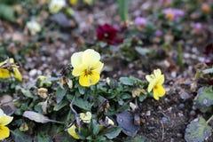 Pansy Flowers Growing gialla intelligente multipla dalla terra di Brown fotografia stock