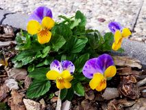 Pansy Flowers Heartsease Viola tricolor in the garden. Image Royalty Free Stock Image