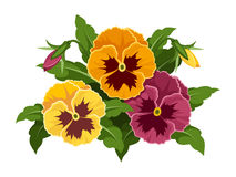 Pansy flowers. Stock Image