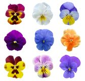 Pansy flowers isolated Stock Photography