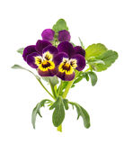 Pansy flowers isolated white background spring viola Royalty Free Stock Image