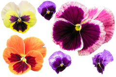 Pansy flowers isolated on white background. Viola tricolor red blue yellow macro closeup Stock Image