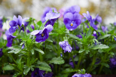 Pansy flowers. Japanese pansy flowers with rain drops Royalty Free Stock Image