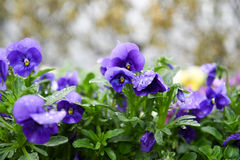 Pansy flowers. Japanese pansy flowers with rain drops Royalty Free Stock Photos