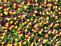 Pansy flowers pattern Stock Photography